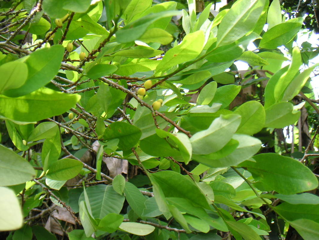the coca plant Cocaine is a naturally occurring substance found in the coca plant which is mostly grown in south america in 2013, 419 kilograms were produced legally it is.
